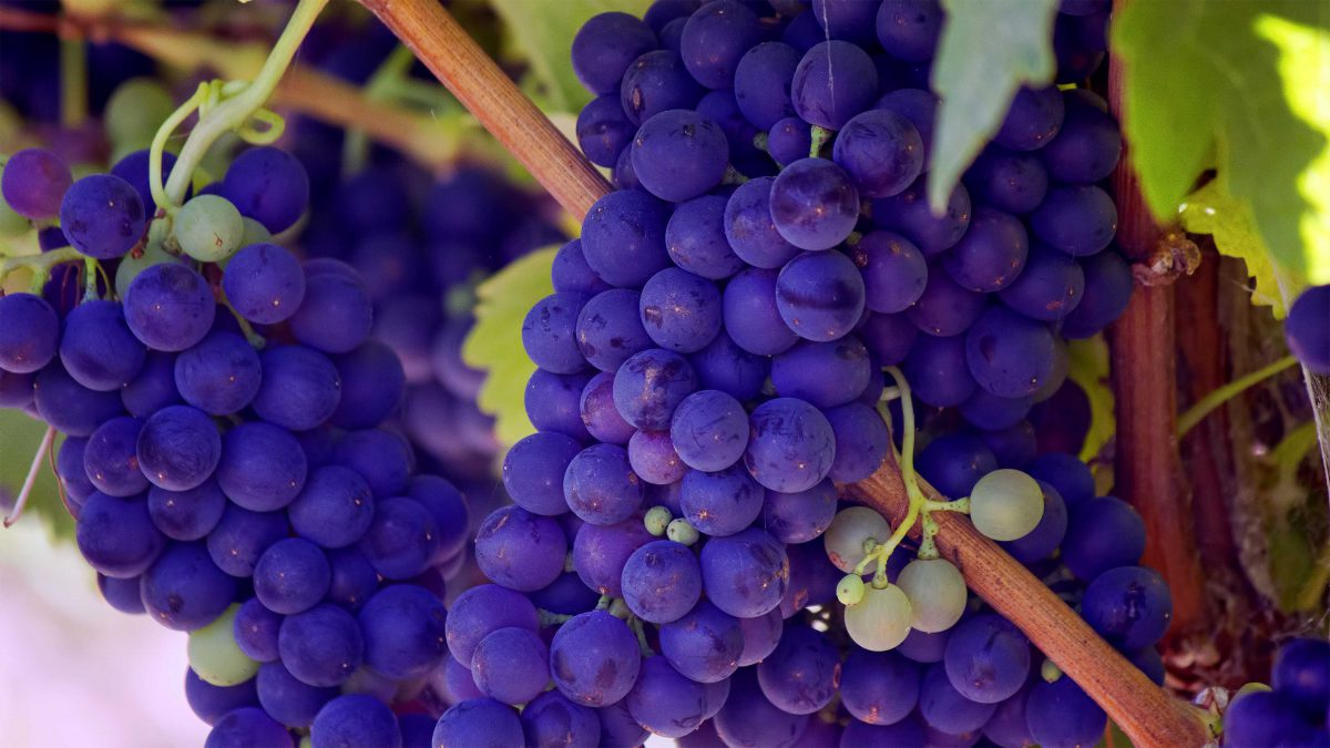 Wine grapes in the Napa Valley
